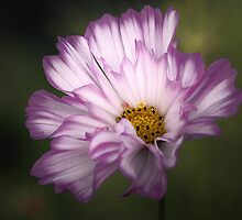 Pink and White Ruffled Cosmos by T.J. Martin