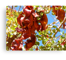 Kimberley Bauhinia Seed Pods Canvas Print