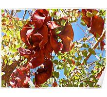 Kimberley Bauhinia Seed Pods Poster