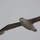 Northern Fulmar by Mark Prior