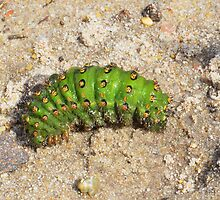 Emperor Moth Caterpillar ,   Saturnia pavonia by relayer51