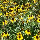 Black-Eyed Susans by beccadess48