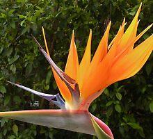 Flamboyant Bird ... of Paradise. by Trish Meyer