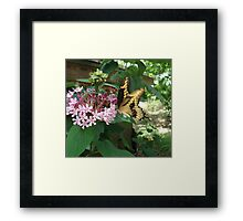 GIANT SWALLOWTAIL ON CLERODENDRON Framed Print
