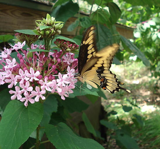 GIANT SWALLOWTAIL ON CLERODENDRON by May Lattanzio