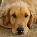 Lazy Summer Day - Golden Retriever by Tjfarthing
