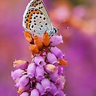 Plebejus argus by Csar Torres