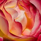 Brilliant Rose by Don Schwartz