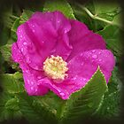 Wild Rose in the Rain by artyfifi