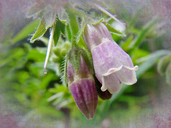 Common Comfrey - Symphytum officinale by MotherNature
