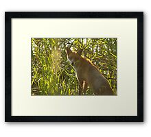 European Red Fox Framed Print