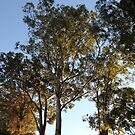 Gums In The Morning Sunshine by aussiebushstick