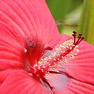 Red Hibiscus by Linda  Makiej