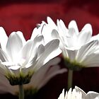 white rose petals by Laurast