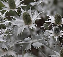 ERYNGIUM (sea Holly) Thistle by Photokes