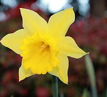 Stunning Yellow Daffodil by Steven Cousley