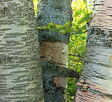Three Birch Tree Trunks by Jim Sauchyn