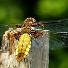 This  Dragonfly on visit in my back-yard by hanslittel