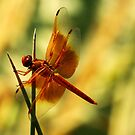 Orange Dragonfly by George Lenz