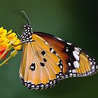 Plain Tiger butterfly by Stacey  Purkiss