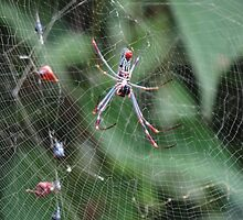 Spider With Cobweb - Araña Con Telaraña by Bernhard Matejka
