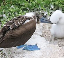 blue footed boobie and chick by Anne Scantlebury