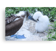 blue footed boobie and chick 1 Canvas Print