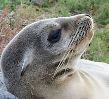 baby sea lion by Anne Scantlebury