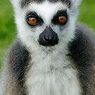 Lemur's Gaze by Matthew Walters