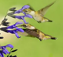 DOUBLE HUMMERS by imagetj