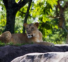 A Lioness Studies the Tourists as they Roll By by Ray Chiarello