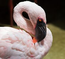 Greater Flamingo by Ray Chiarello