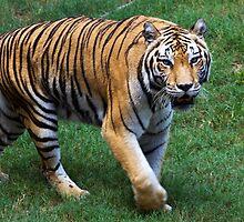 Tiger by Ray Chiarello