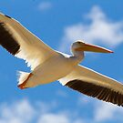 White Pelican Adult by Robbie Knight