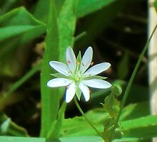 Star Chickweed by Kathleen Daley