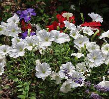 A garden of Pansies by vigor