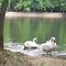 Swans in Bolivar Missouri Park by aweddingtheme