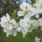 Plum Blossom by CliffordV