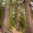 Rocky Mountain Forest  Nature Path by Bo Insogna