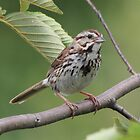 Song Sparrow by hummingbirds
