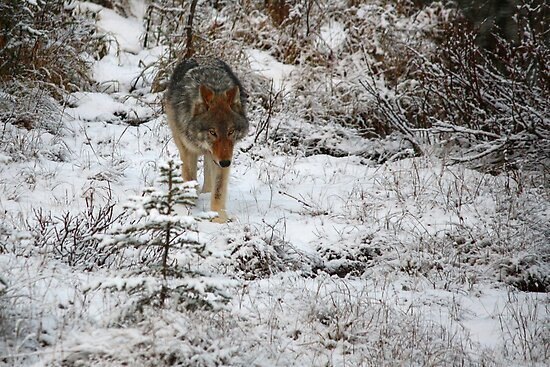 Focused Wolf by JamesA1