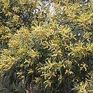 Wattle Tree In Bloom by aussiebushstick
