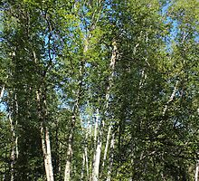 Paper Birch by Jim Sauchyn