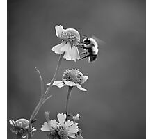 bees forever Photographic Print