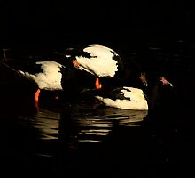 Black and White Geese by Noel Elliot