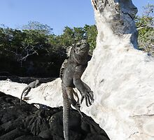 Marine iguana. by Anne Scantlebury