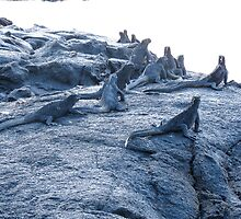 Marine iguanas. by Anne Scantlebury