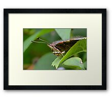 Red Admiral Butterfly Profile     Framed Print