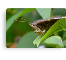 Red Admiral Butterfly Profile     Canvas Print