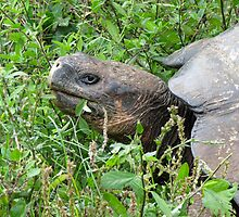 Giant tortoise 2. by Anne Scantlebury